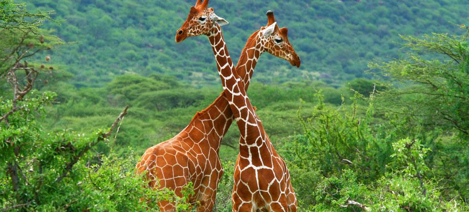 kenya-slides-giraffes