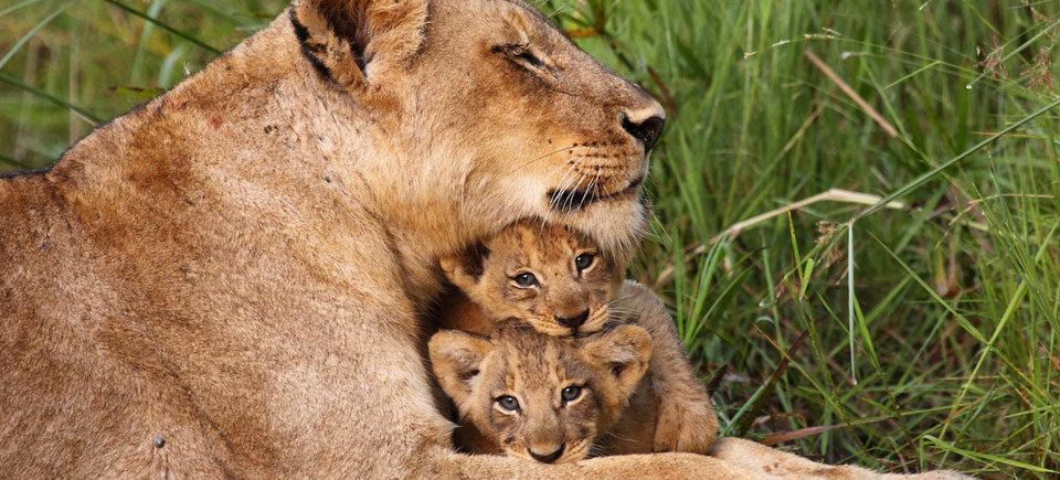 kenya-slides-lion-cubs