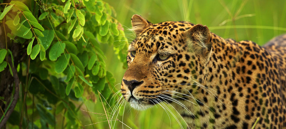 zambia-slides-leopard