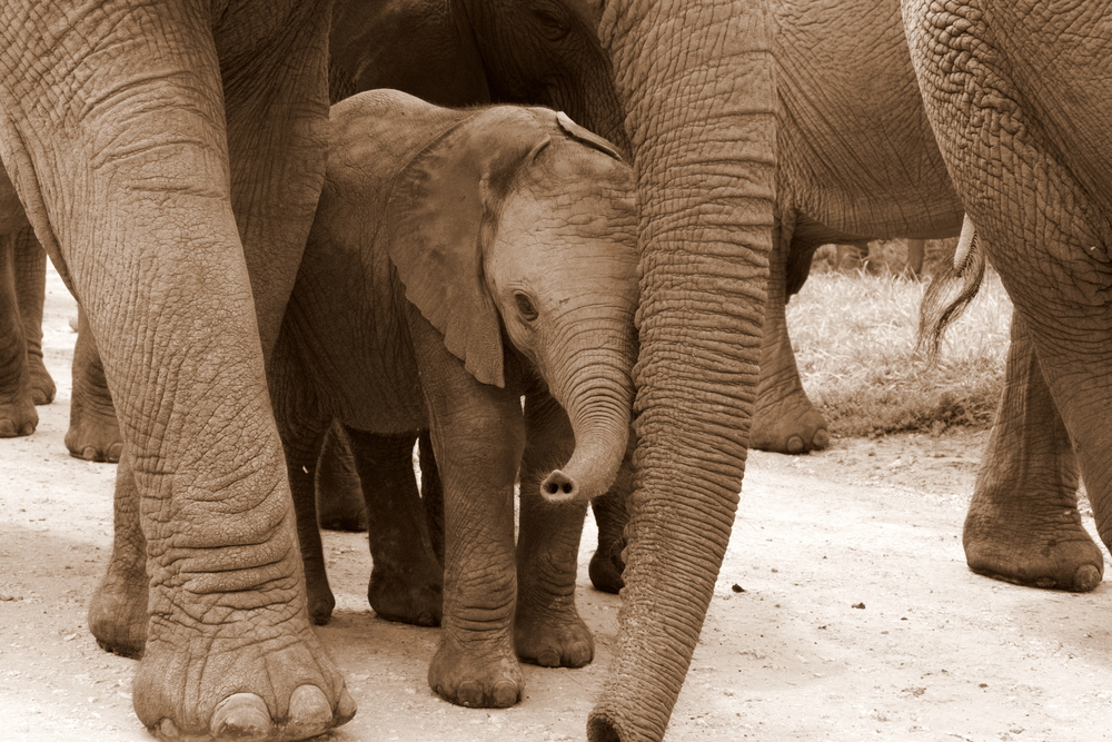 Elephant calf protected by adults