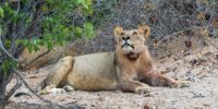 Desert Lion Nambia