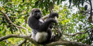 odzala-discovery-camps-congo-gorilla