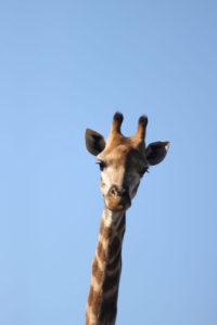 curious-giraffe-samara-game-reserve-great-karoo-south-africa-